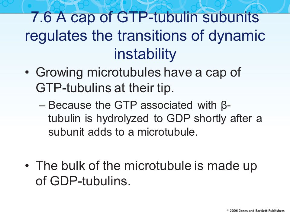 7.6 A cap of GTP-tubulin subunits regulates the transitions of dynamic instability Growing microtubules have a cap of GTP-tubulins at their tip. –Beca