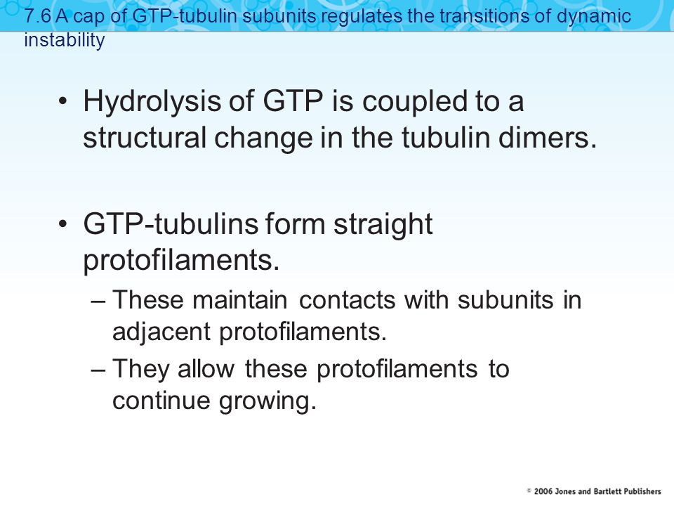 Hydrolysis of GTP is coupled to a structural change in the tubulin dimers. GTP-tubulins form straight protofilaments. –These maintain contacts with su