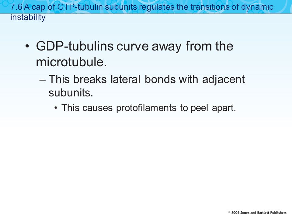 GDP-tubulins curve away from the microtubule. –This breaks lateral bonds with adjacent subunits. This causes protofilaments to peel apart. 7.6 A cap o