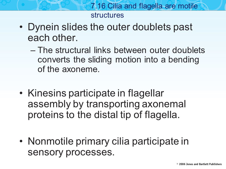 Dynein slides the outer doublets past each other. –The structural links between outer doublets converts the sliding motion into a bending of the axone