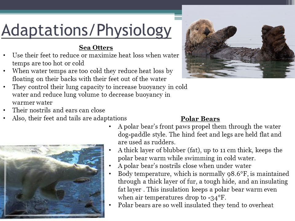 Adaptations/Physiology Sea Otters Use their feet to reduce or maximize heat loss when water temps are too hot or cold When water temps are too cold they reduce heat loss by floating on their backs with their feet out of the water They control their lung capacity to increase buoyancy in cold water and reduce lung volume to decrease buoyancy in warmer water Their nostrils and ears can close Also, their feet and tails are adaptations Polar Bears A polar bear s front paws propel them through the water dog-paddle style.
