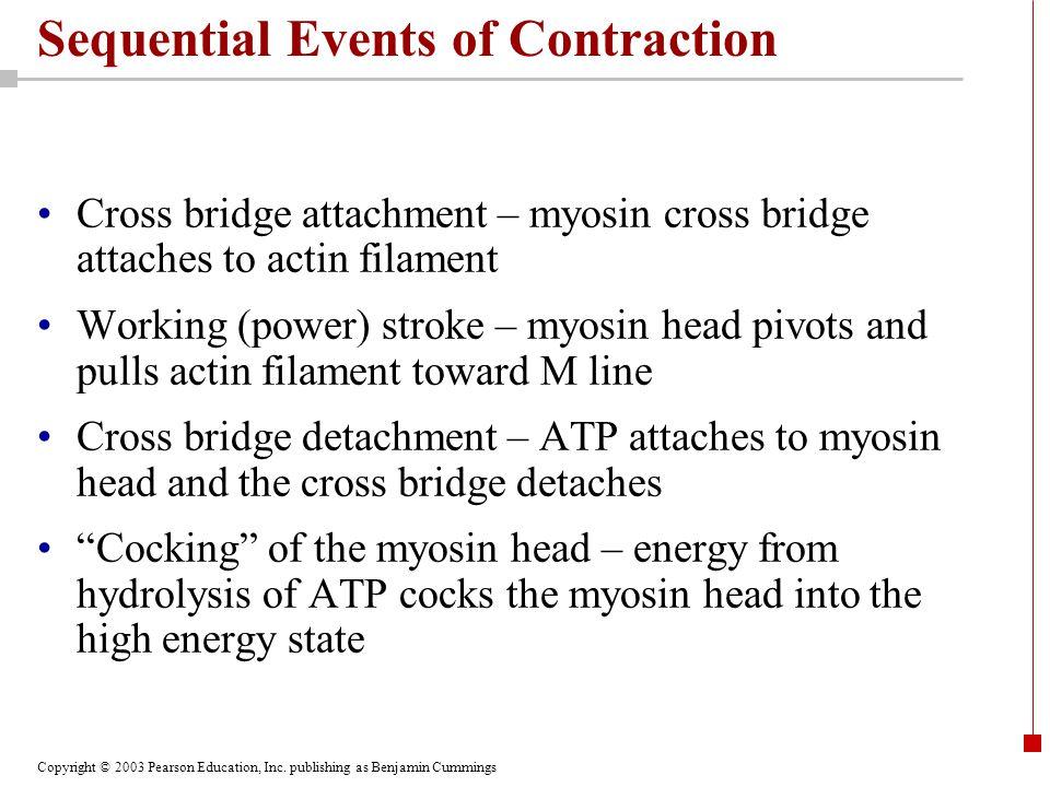 Copyright © 2003 Pearson Education, Inc. publishing as Benjamin Cummings Sequential Events of Contraction Cross bridge attachment – myosin cross bridg
