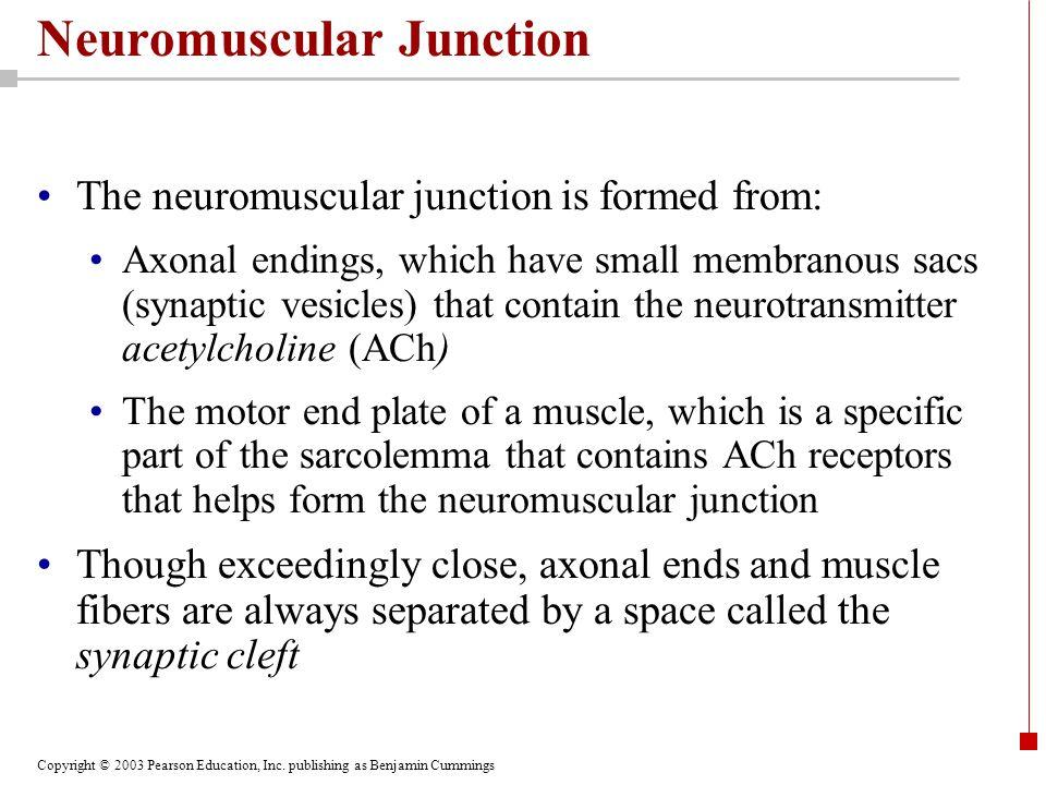 Copyright © 2003 Pearson Education, Inc. publishing as Benjamin Cummings Neuromuscular Junction The neuromuscular junction is formed from: Axonal endi