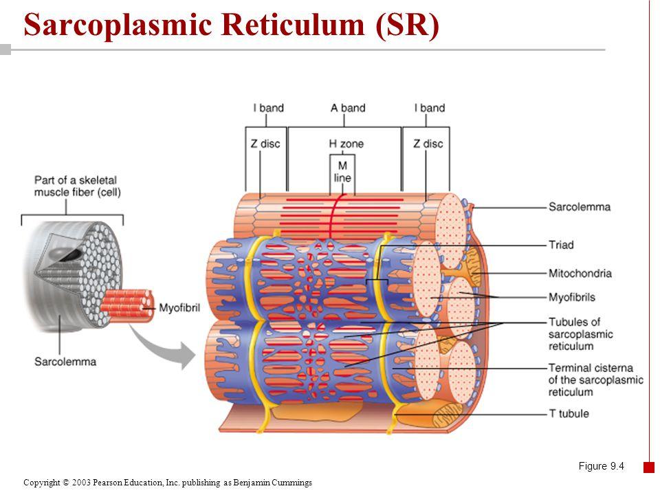 Copyright © 2003 Pearson Education, Inc. publishing as Benjamin Cummings Sarcoplasmic Reticulum (SR) Figure 9.4