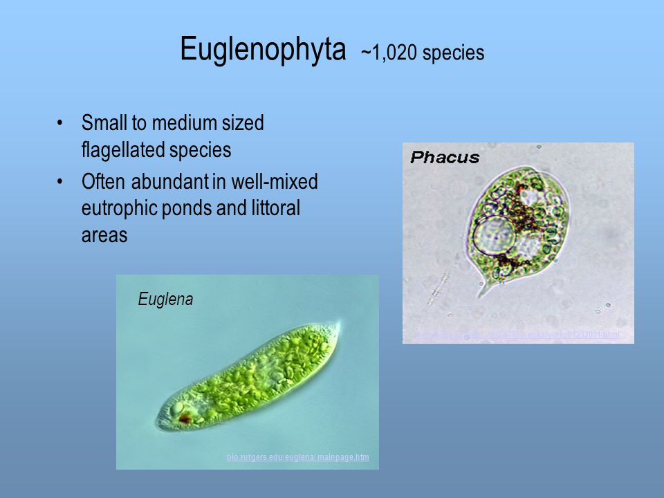 Euglenophyta ~1,020 species Small to medium sized flagellated species Often abundant in well-mixed eutrophic ponds and littoral areas www.mib.uga.edu/