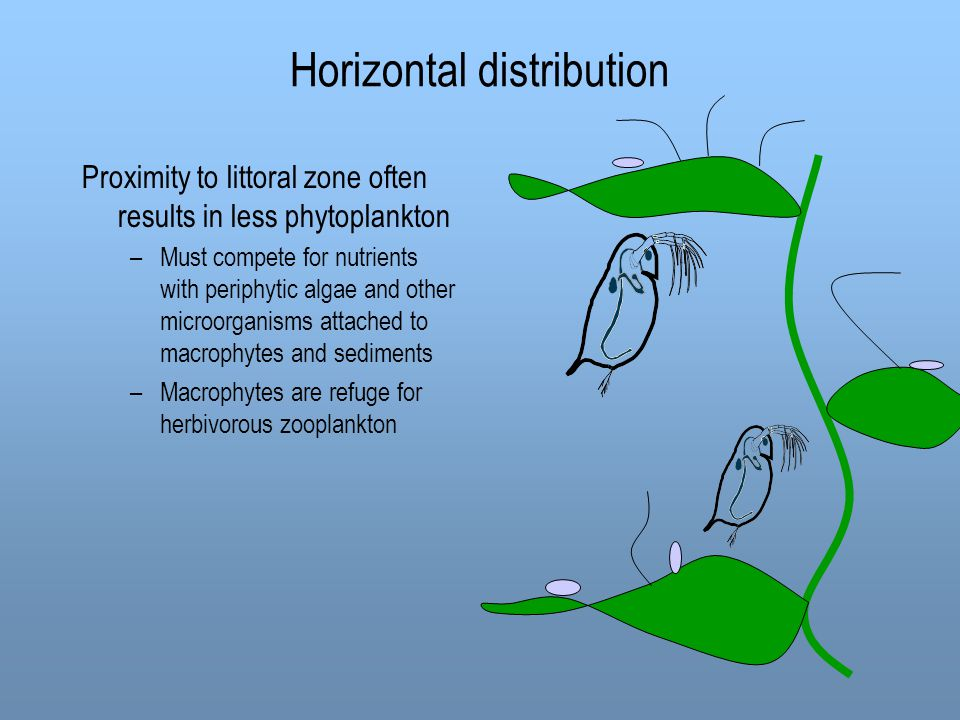 Horizontal distribution Proximity to littoral zone often results in less phytoplankton –Must compete for nutrients with periphytic algae and other mic