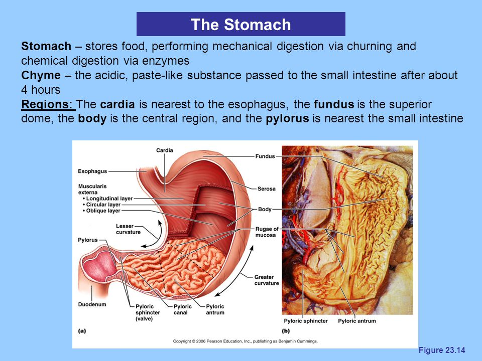 Figure 23.14 The Stomach Stomach – stores food, performing mechanical digestion via churning and chemical digestion via enzymes Chyme – the acidic, pa