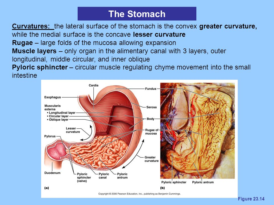 Figure 23.14 The Stomach Curvatures: the lateral surface of the stomach is the convex greater curvature, while the medial surface is the concave lesse