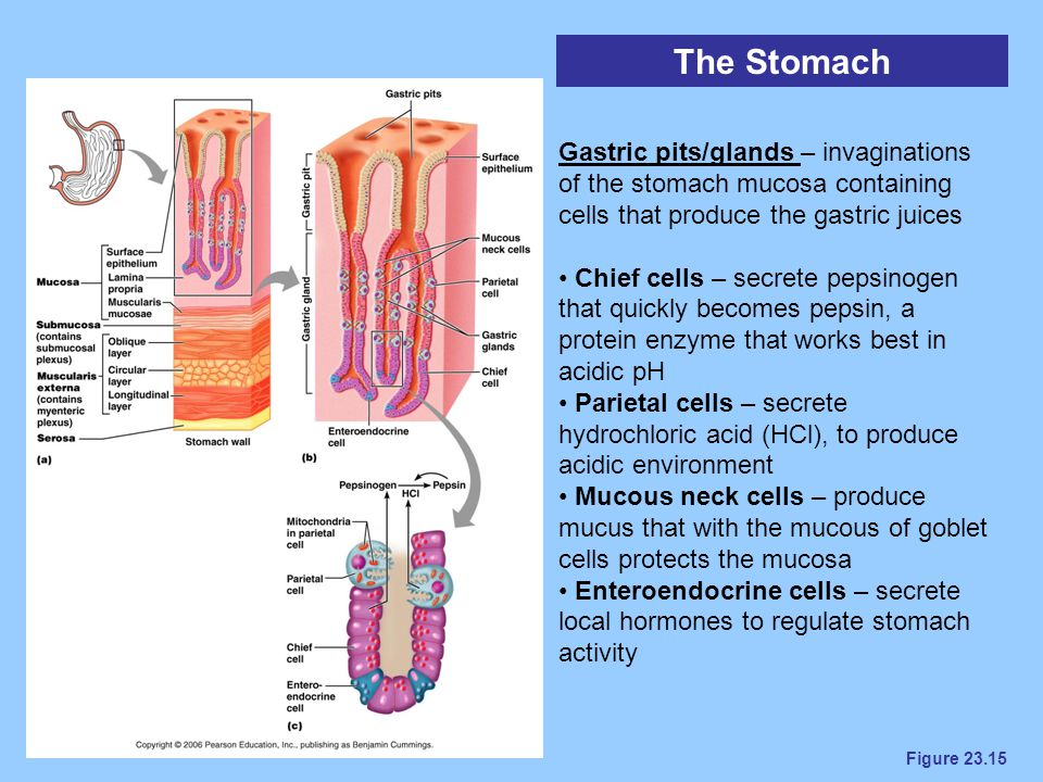 Figure 23.15 The Stomach Gastric pits/glands – invaginations of the stomach mucosa containing cells that produce the gastric juices Chief cells – secr