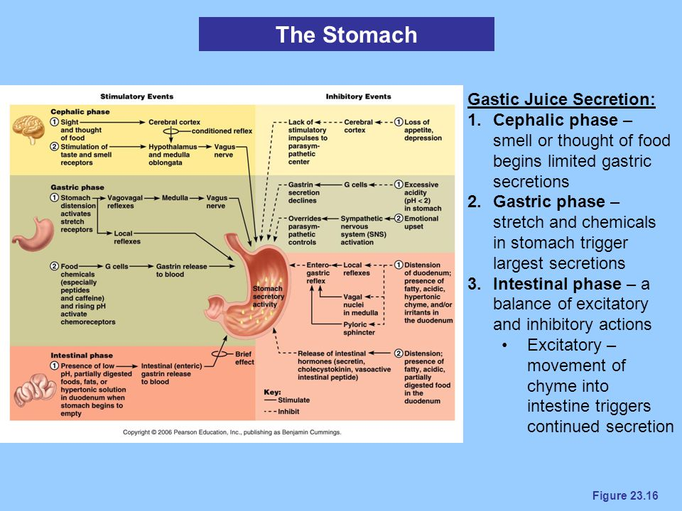 Figure 23.16 The Stomach Gastic Juice Secretion: 1.Cephalic phase – smell or thought of food begins limited gastric secretions 2.Gastric phase – stret