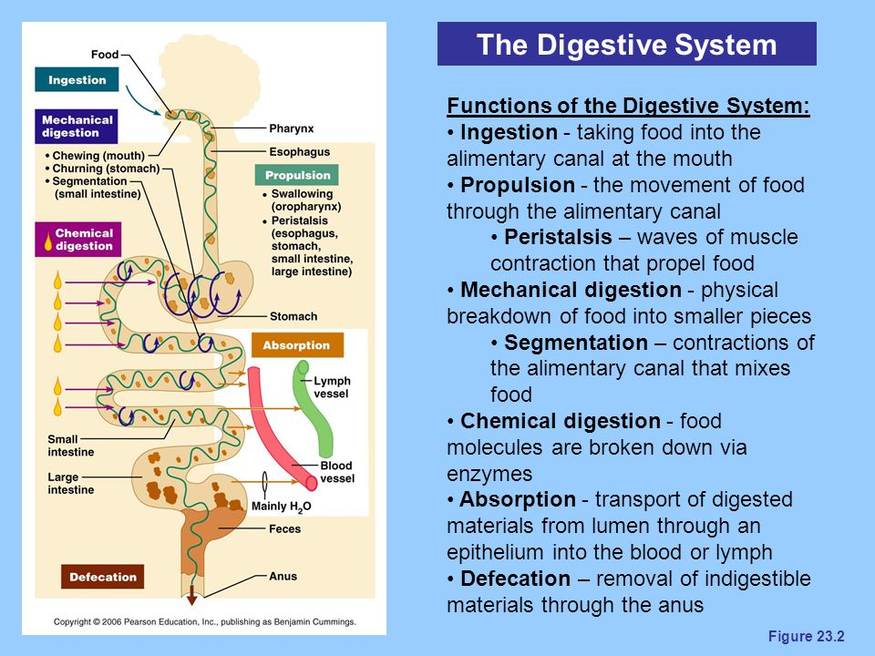 Figure 23.2 The Digestive System Functions of the Digestive System: Ingestion - taking food into the alimentary canal at the mouth Propulsion - the mo