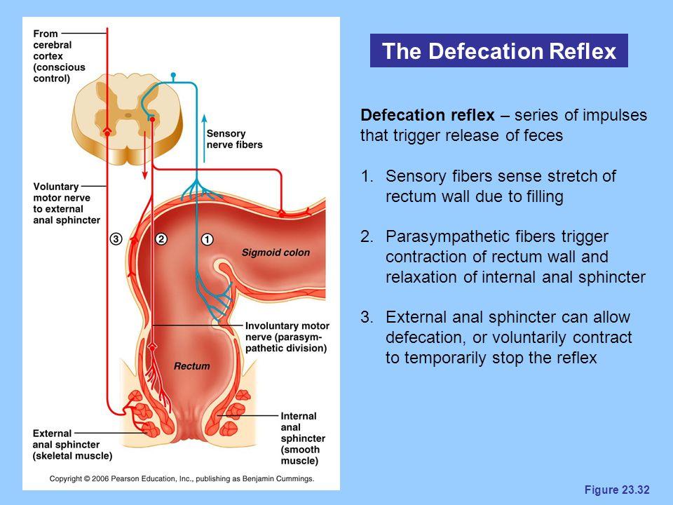 Figure 23.32 The Defecation Reflex Defecation reflex – series of impulses that trigger release of feces 1.Sensory fibers sense stretch of rectum wall