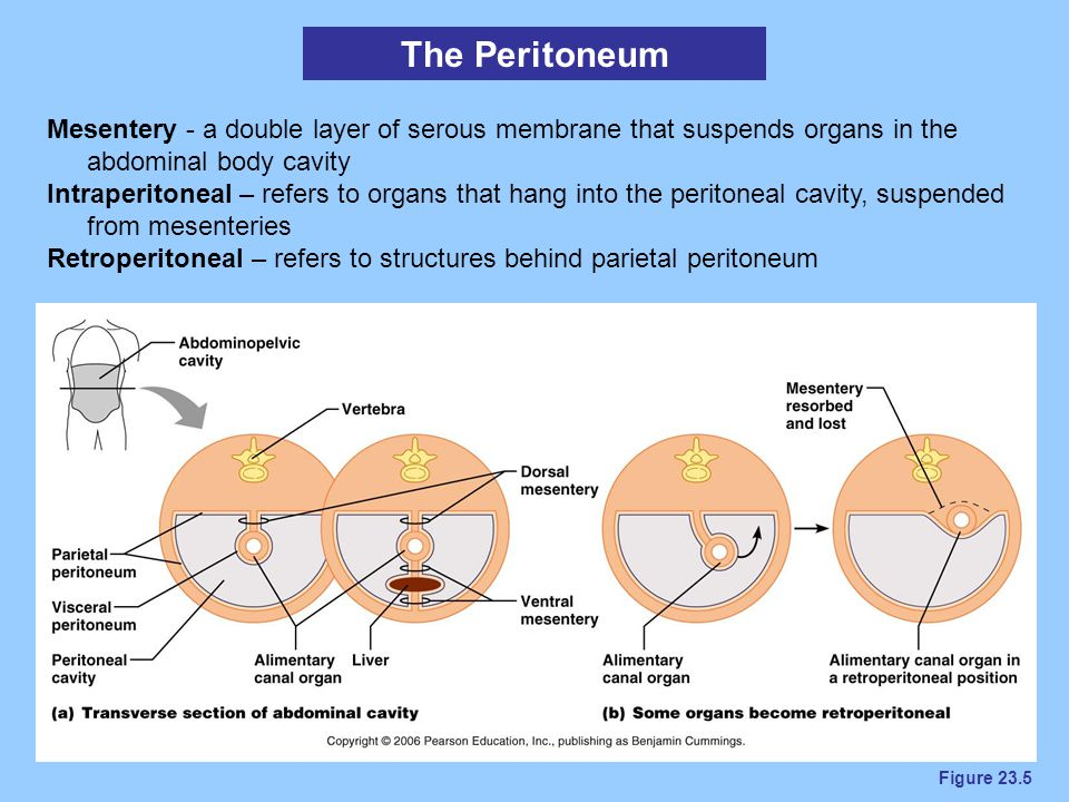 Figure 23.5 The Peritoneum Mesentery - a double layer of serous membrane that suspends organs in the abdominal body cavity Intraperitoneal – refers to