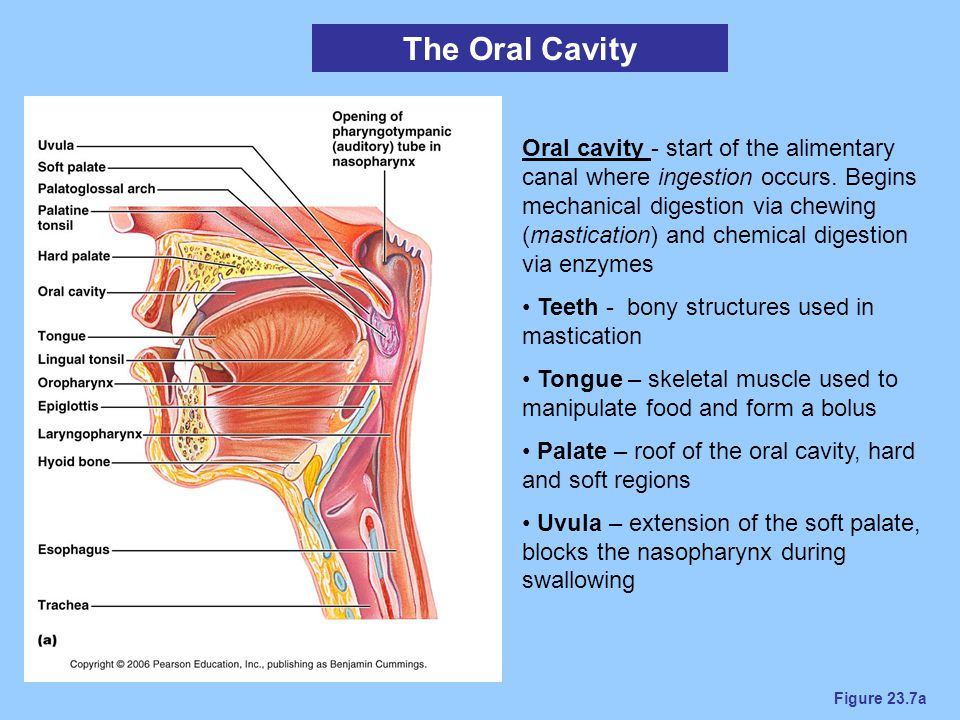 Figure 23.7a The Oral Cavity Oral cavity - start of the alimentary canal where ingestion occurs. Begins mechanical digestion via chewing (mastication)