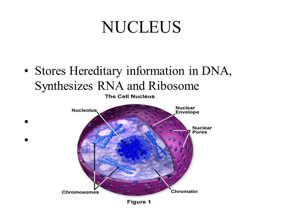 NUCLEUS Stores Hereditary information in DNA, Synthesizes RNA and Ribosome