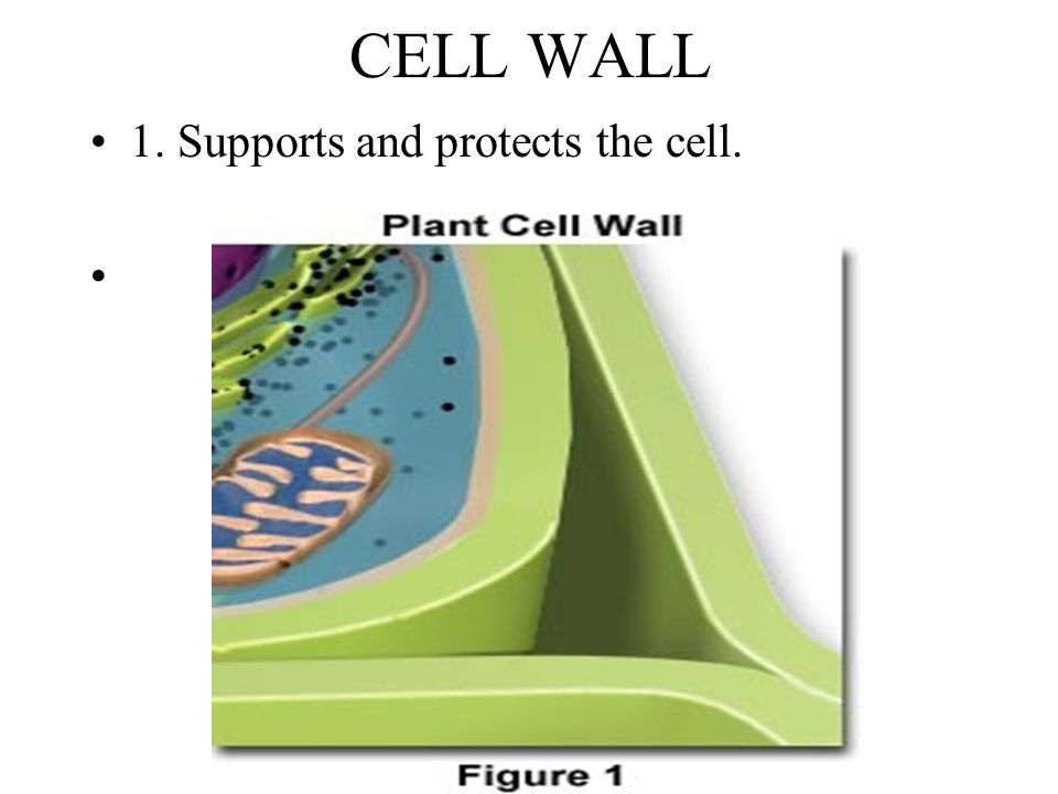 CELL WALL 1. Supports and protects the cell.