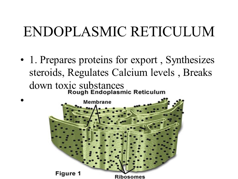 ENDOPLASMIC RETICULUM 1. Prepares proteins for export, Synthesizes steroids, Regulates Calcium levels, Breaks down toxic substances