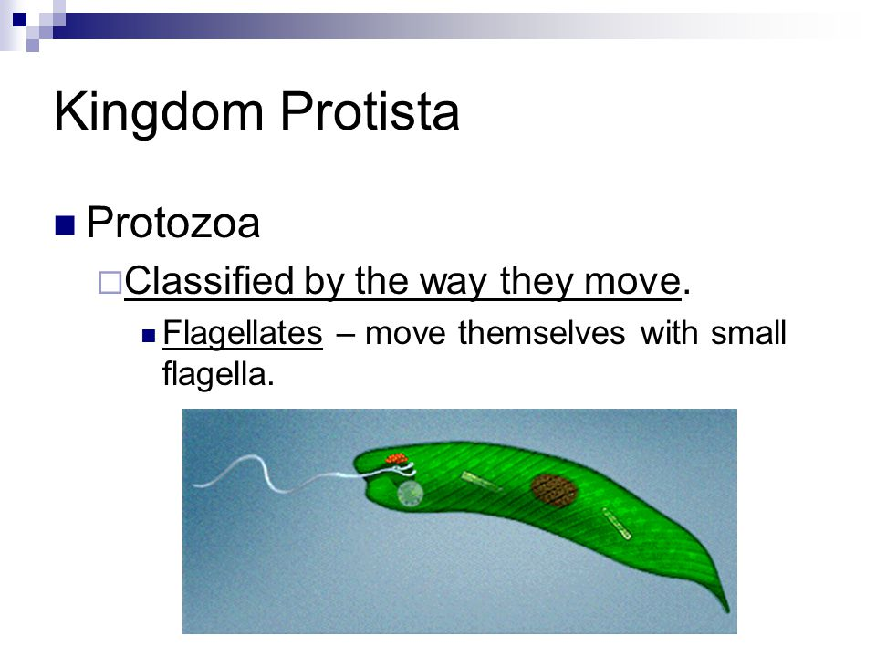 Kingdom Protista Protozoa  Classified by the way they move. Flagellates – move themselves with small flagella.