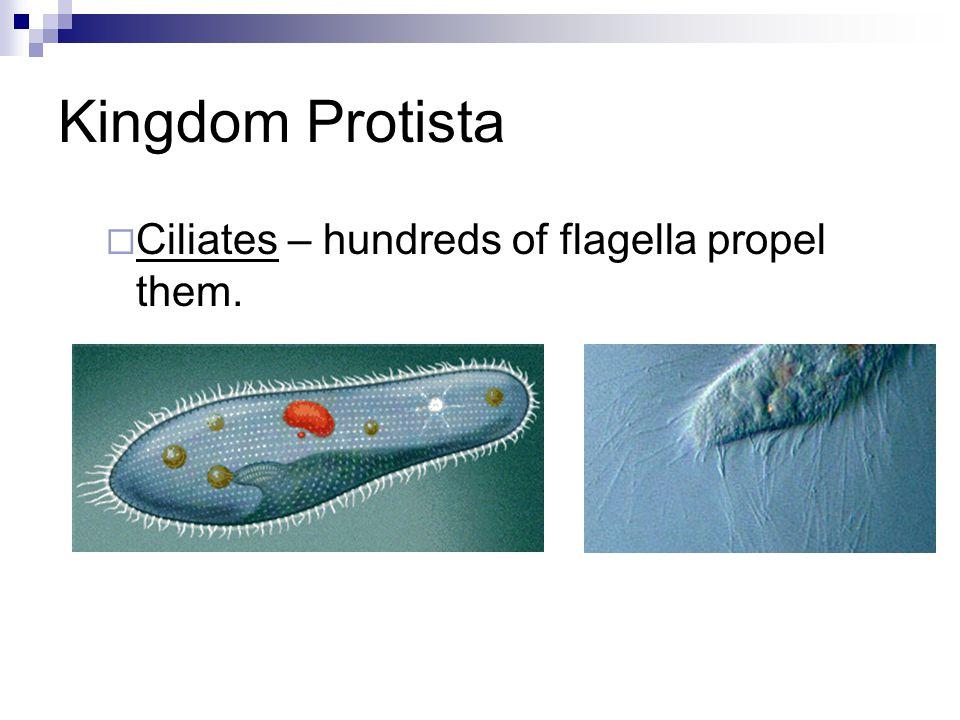 Kingdom Protista  Ciliates – hundreds of flagella propel them.