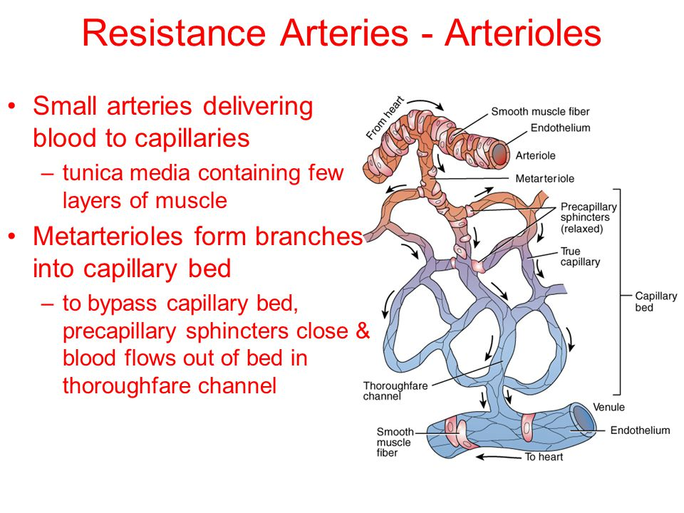 Resistance Arteries - Arterioles Small arteries delivering blood to capillaries –tunica media containing few layers of muscle Metarterioles form branc
