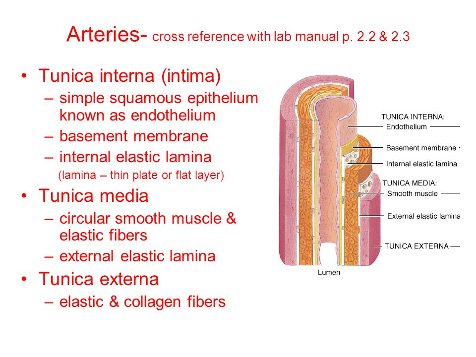 Arteries- cross reference with lab manual p. 2.2 & 2.3 Tunica interna (intima) –simple squamous epithelium known as endothelium –basement membrane –in