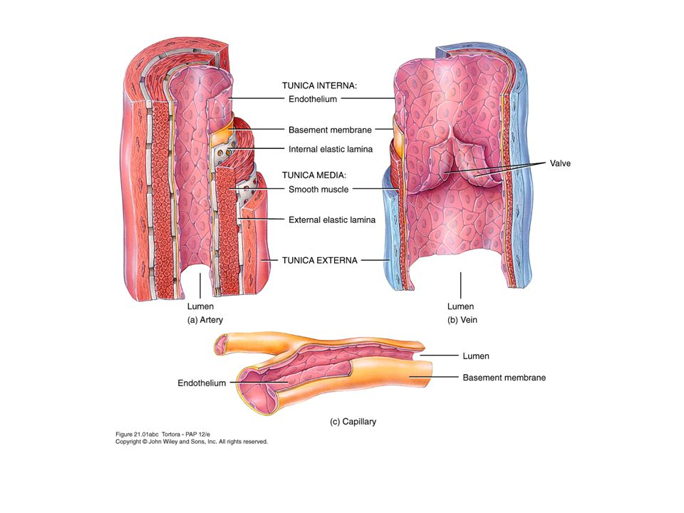 Structure Tunica interna (intima) –Inner lining in direct contact with blood –Endothelium continuous with endocardial lining of heart –Active role in vessel-related activities Tunica media –Muscular and connective tissue layer –Greatest variation among vessel types –Smooth muscle regulates diameter of lumen Tunica externa –Elastic and collagen fibers –Vaso vasorum – small vessels which supply the vessel itself.