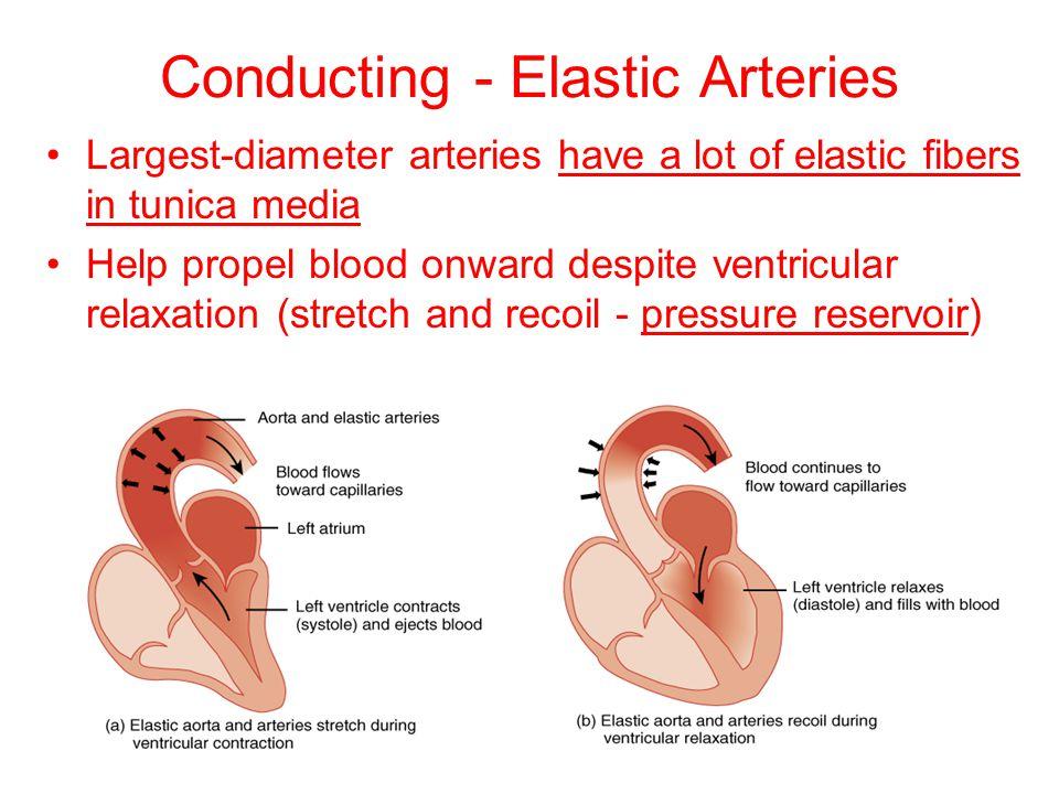 Conducting - Elastic Arteries Largest-diameter arteries have a lot of elastic fibers in tunica media Help propel blood onward despite ventricular rela