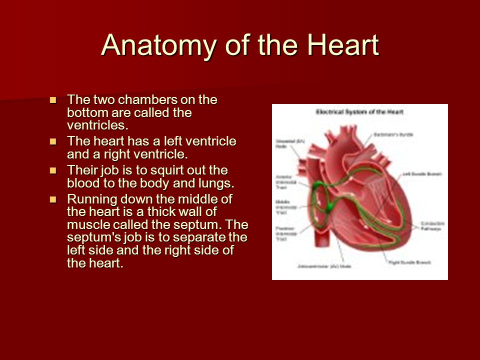 Anatomy of the Heart The two chambers on the bottom are called the ventricles. The two chambers on the bottom are called the ventricles. The heart has