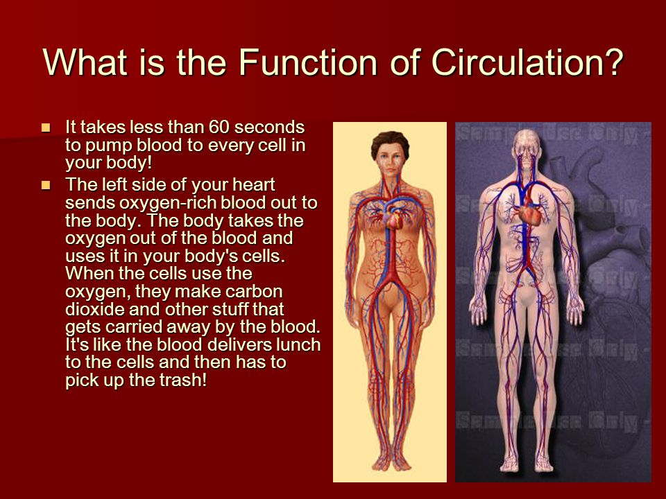 What is the Function of Circulation? It takes less than 60 seconds to pump blood to every cell in your body! It takes less than 60 seconds to pump blo