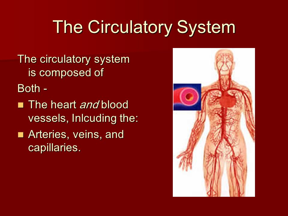 The Circulatory System The circulatory system is composed of Both - The heart and blood vessels, Inlcuding the: The heart and blood vessels, Inlcuding
