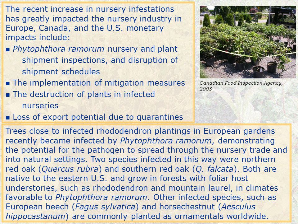 Review Questions 1.Phytophthora ramorum causes two basic diseases.