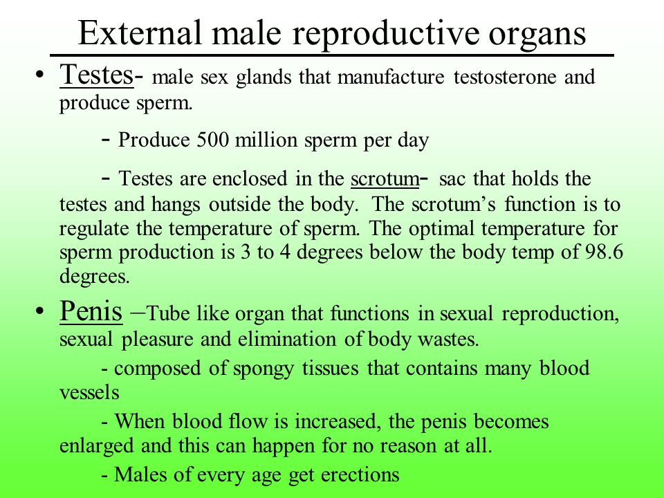 Testes- male sex glands that manufacture testosterone and produce sperm.