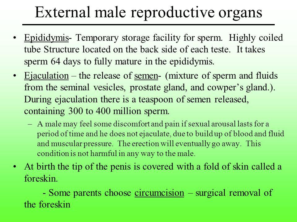 Epididymis- Temporary storage facility for sperm.
