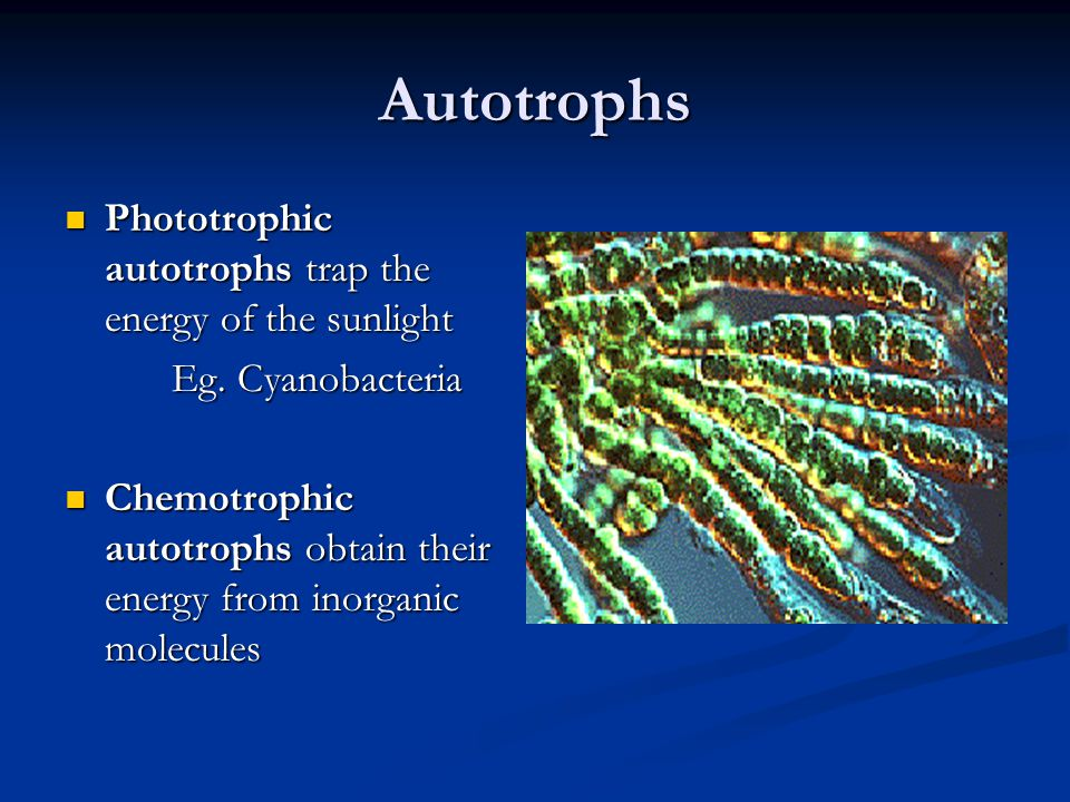 Autotrophs Phototrophic autotrophs trap the energy of the sunlight Phototrophic autotrophs trap the energy of the sunlight Eg. Cyanobacteria Chemotrop