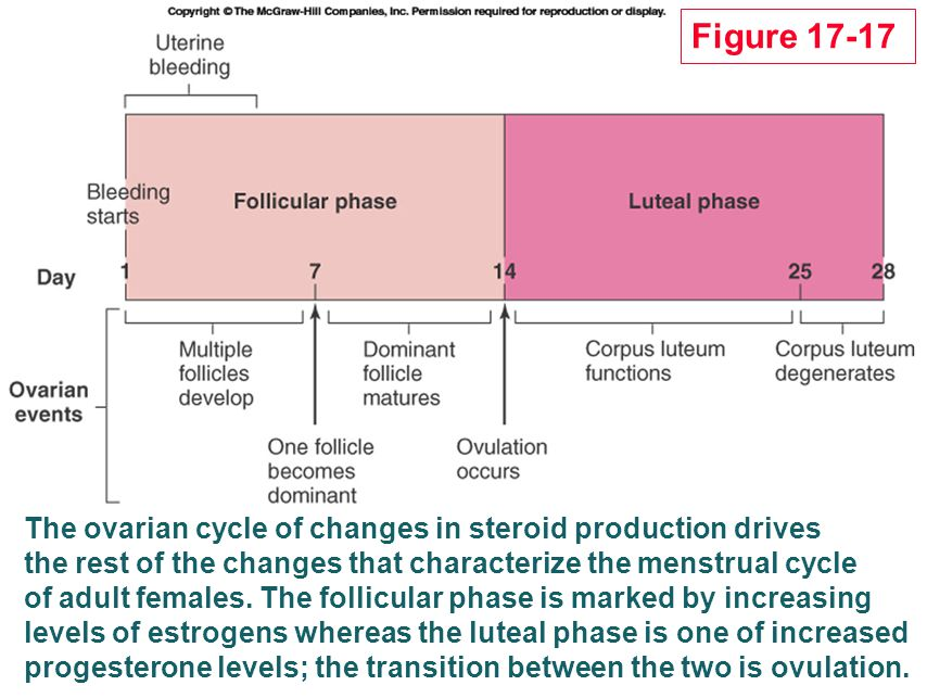 The ovarian cycle of changes in steroid production drives the rest of the changes that characterize the menstrual cycle of adult females. The follicul