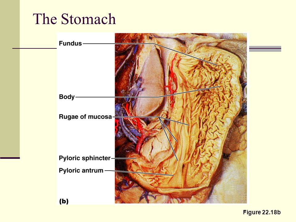 The Stomach Figure 22.18b