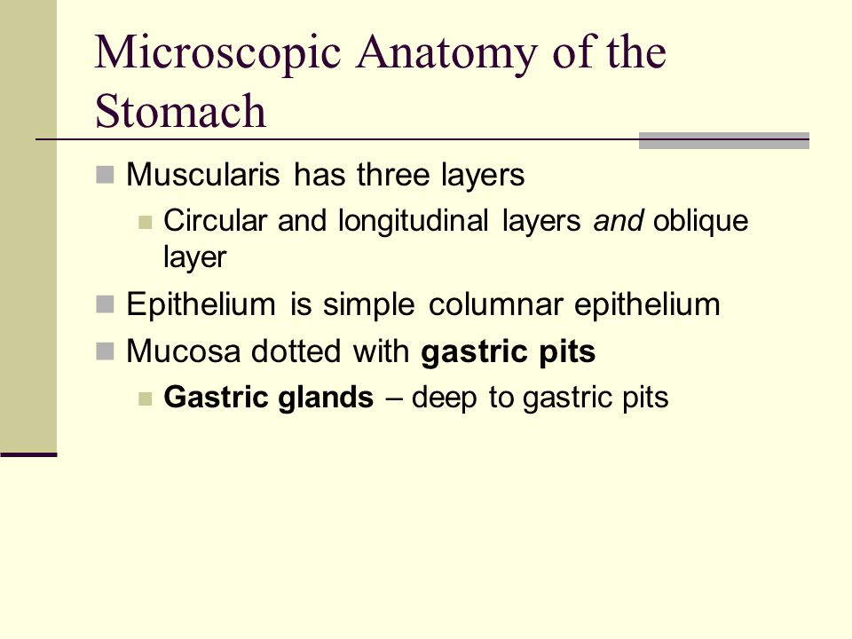 Microscopic Anatomy of the Stomach Muscularis has three layers Circular and longitudinal layers and oblique layer Epithelium is simple columnar epithe
