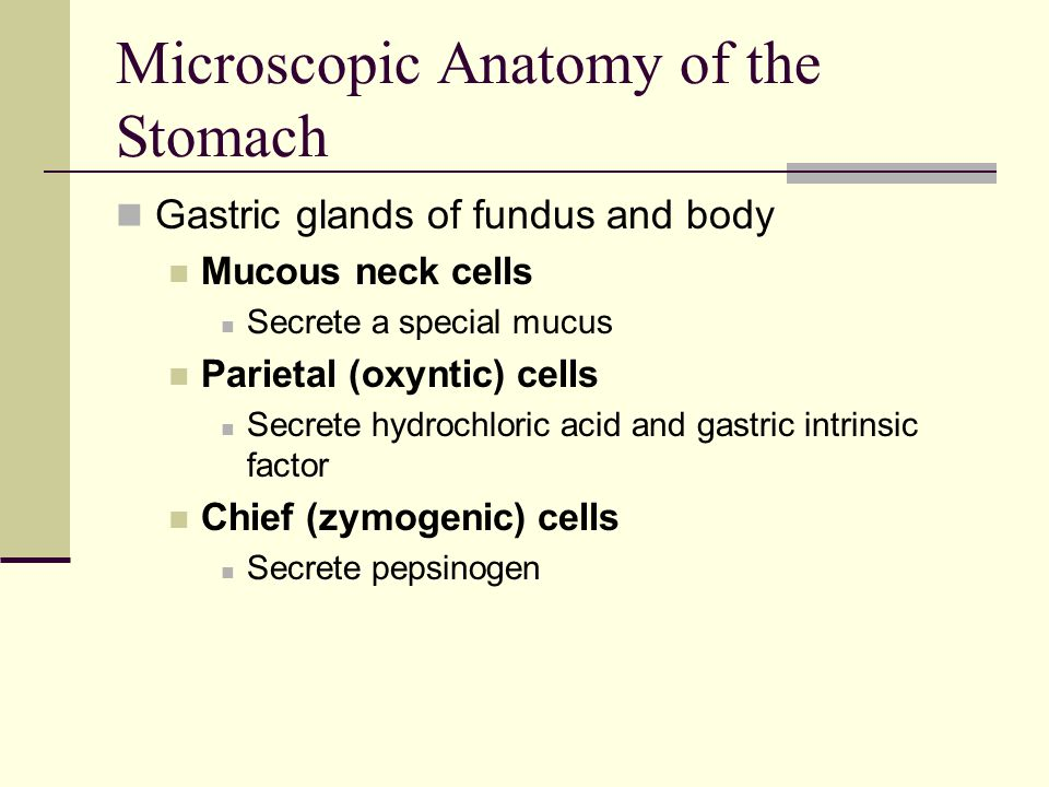 Microscopic Anatomy of the Stomach Gastric glands of fundus and body Mucous neck cells Secrete a special mucus Parietal (oxyntic) cells Secrete hydroc