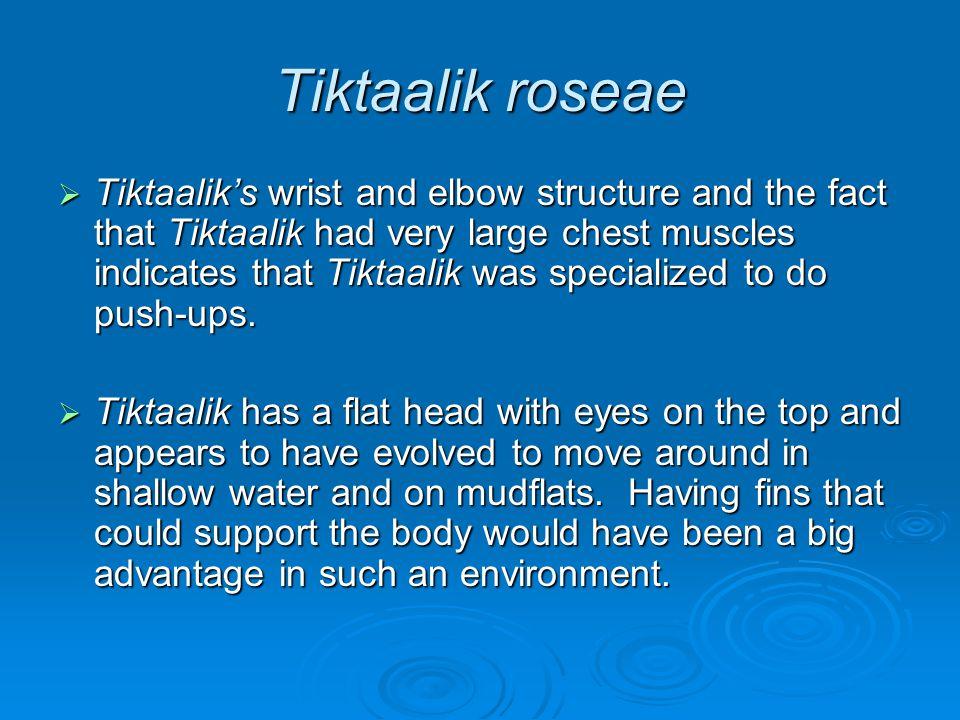 Tiktaalik roseae  Tiktaalik's wrist and elbow structure and the fact that Tiktaalik had very large chest muscles indicates that Tiktaalik was special