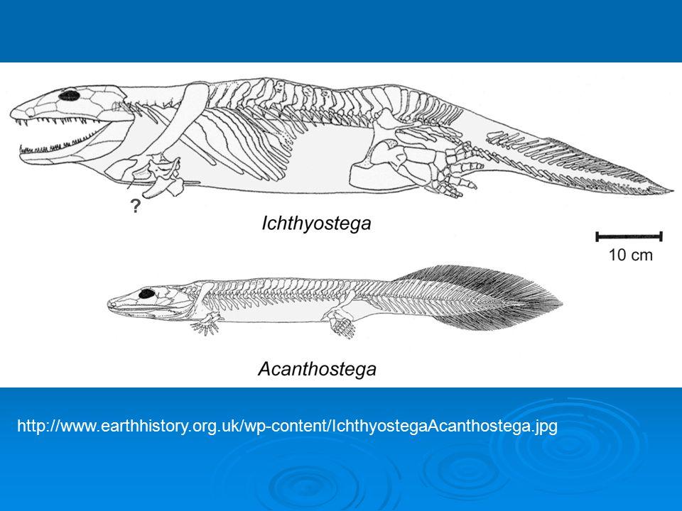 http://www.earthhistory.org.uk/wp-content/IchthyostegaAcanthostega.jpg