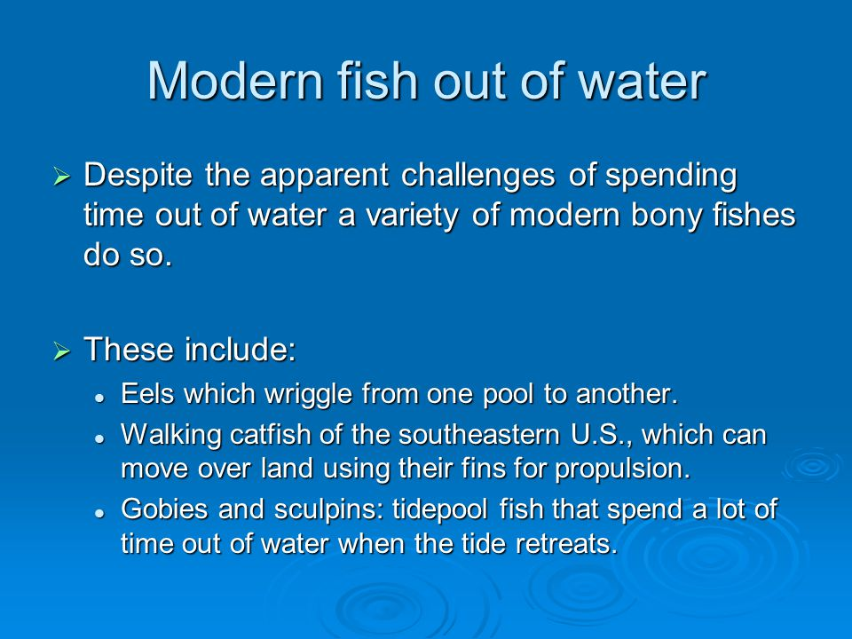 Modern fish out of water  Despite the apparent challenges of spending time out of water a variety of modern bony fishes do so.  These include: Eels