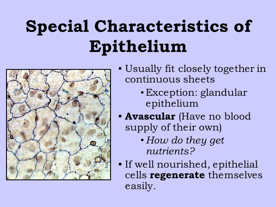 Special Characteristics of Epithelium Usually fit closely together in continuous sheets Exception: glandular epithelium Avascular (Have no blood supply of their own) How do they get nutrients.