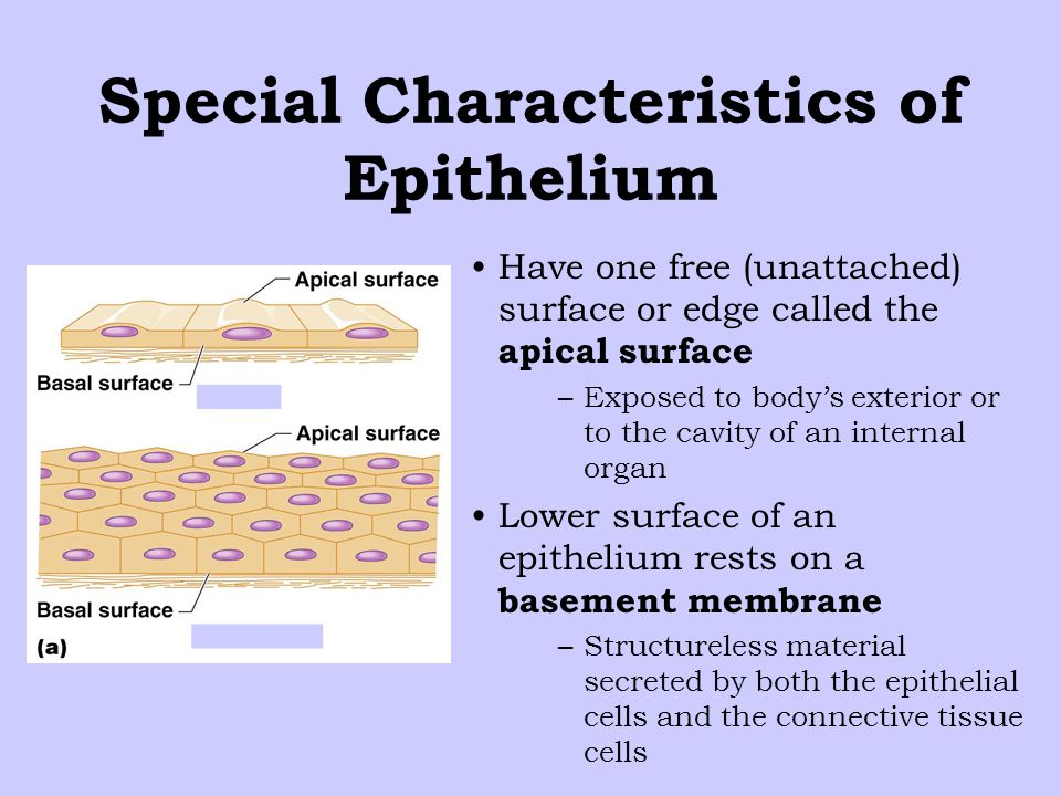 Special Characteristics of Epithelium Have one free (unattached) surface or edge called the apical surface –Exposed to body's exterior or to the cavity of an internal organ Lower surface of an epithelium rests on a basement membrane –Structureless material secreted by both the epithelial cells and the connective tissue cells