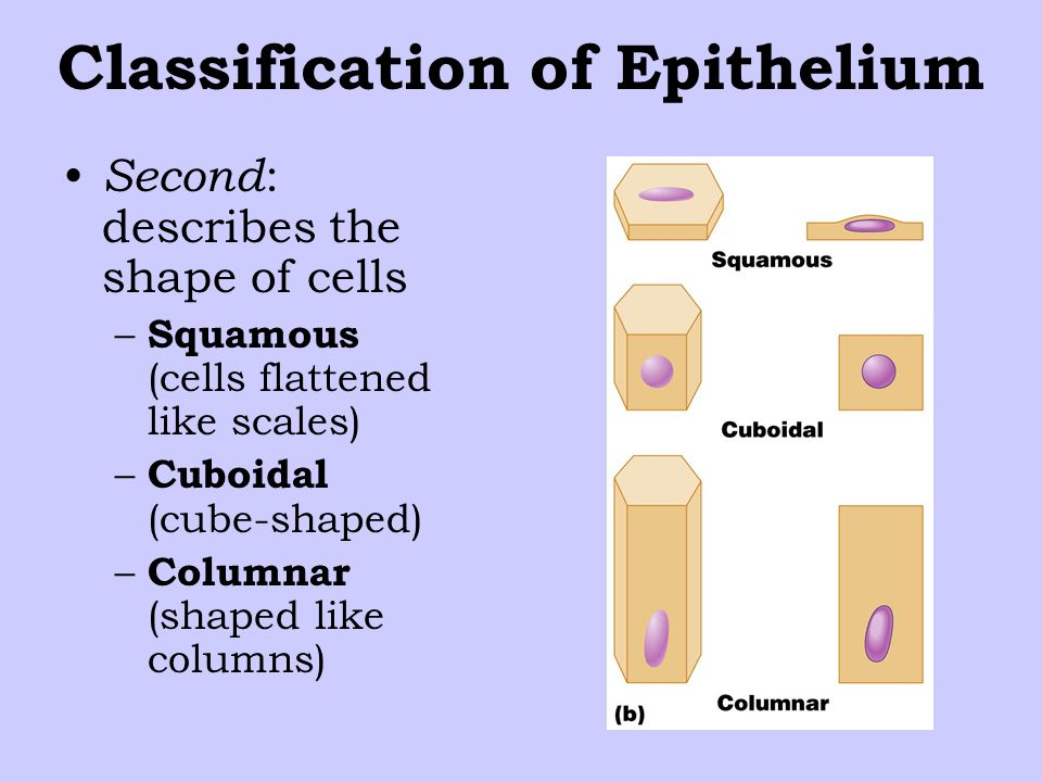 Classification of Epithelium Second : describes the shape of cells – Squamous (cells flattened like scales) – Cuboidal (cube-shaped) – Columnar (shaped like columns)
