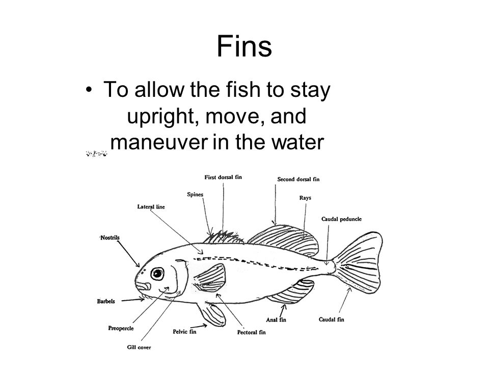 Fins To allow the fish to stay upright, move, and maneuver in the water