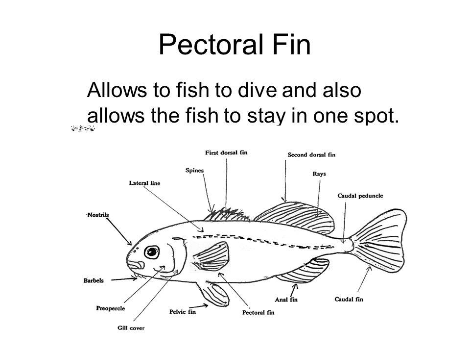 Pelvic Fin Balances and positions