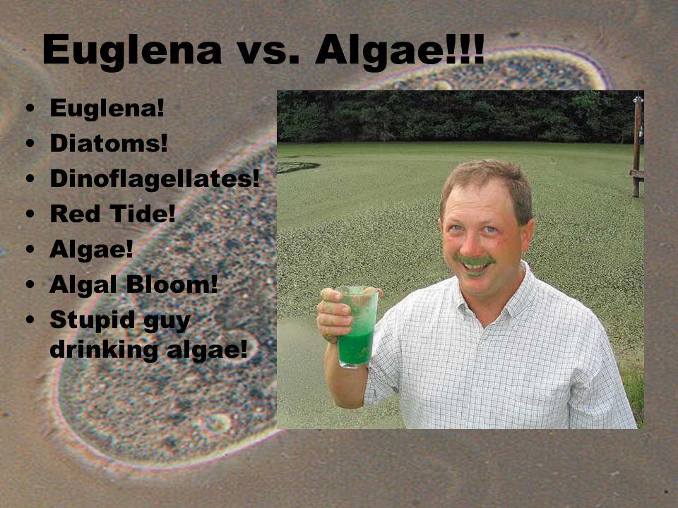 Euglena vs. Algae!!. Euglena. Diatoms. Dinoflagellates.