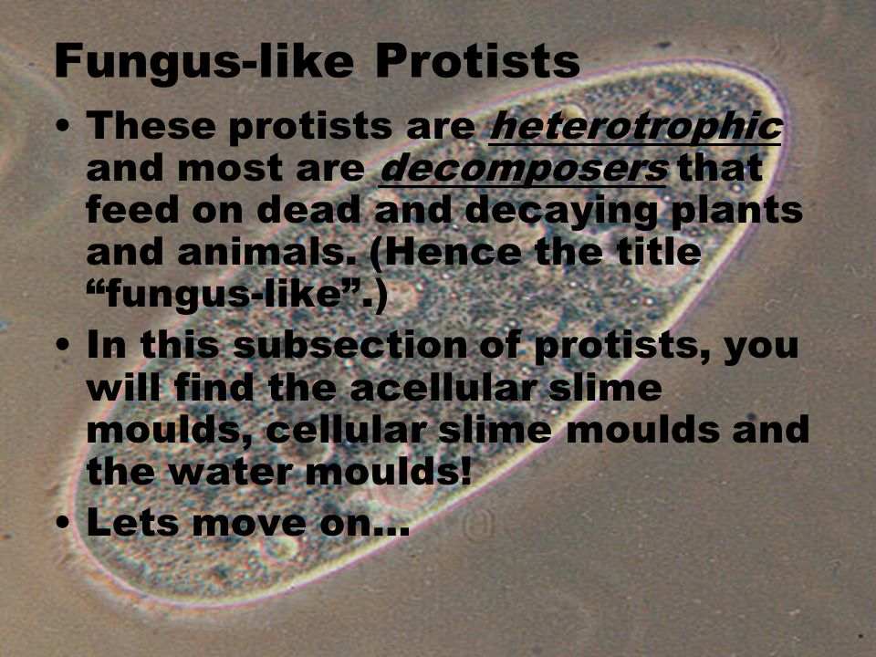 Fungus-like Protists These protists are heterotrophic and most are decomposers that feed on dead and decaying plants and animals.