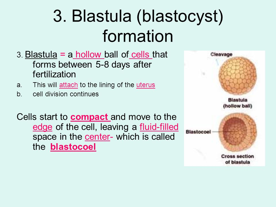 3. Blastula (blastocyst) formation 3. Blastula = a hollow ball of cells that forms between 5-8 days after fertilization a.This will attach to the lini