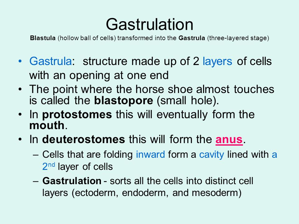 Gastrulation Blastula (hollow ball of cells) transformed into the Gastrula (three-layered stage) Gastrula: structure made up of 2 layers of cells with an opening at one end The point where the horse shoe almost touches is called the blastopore (small hole).